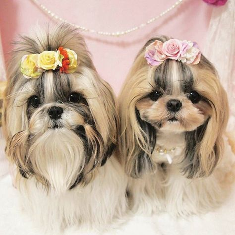Follow us if you are Shih Tzu lover! To be featuredFollow usTag us #shihtzucorner Photo owner: @cawaii_azuki by shihtzucorner