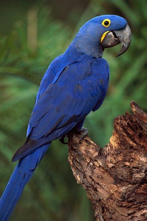 Hyacinth Macaw | Macaw parrot, Macaw, Blue macaw