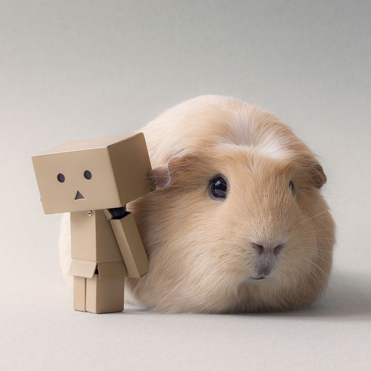 boo boo guinea pig and friends | This Might Be the World's Cutest Guinea Pig
