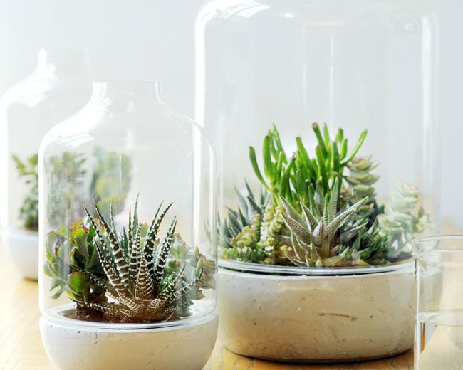 succulentes sous cloche garden pinterest cloche plantes et cloche verre. Black Bedroom Furniture Sets. Home Design Ideas