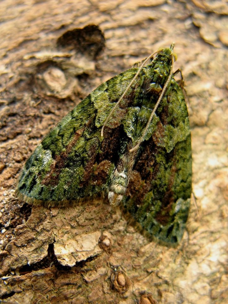 WEEK 32 - we had 62 moths in the trap.... New to me..... Red-green carpet, Feathered thorn, Green-brindled crescent Yellow line quaker.