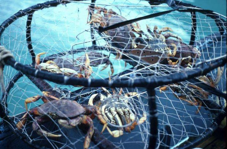 40 best images about my cajun homeland on pinterest for Crab fishing oregon