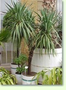 Palmlilie (Yucca)  Pflegeanleitung hier