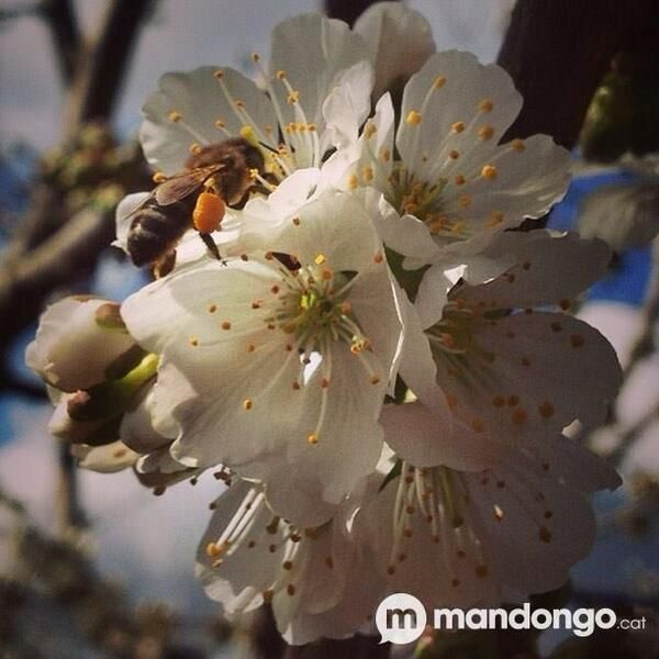 Les abelles comencen a fer mel al #Pallars