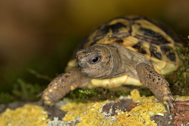 The Hermann's Tortoise is a popular breed that makes a great pet.