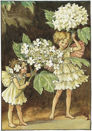 Guelder Rose Fairies - Cicely Mary Barker - fairies and umbrellas (hydrangea blossoms)
