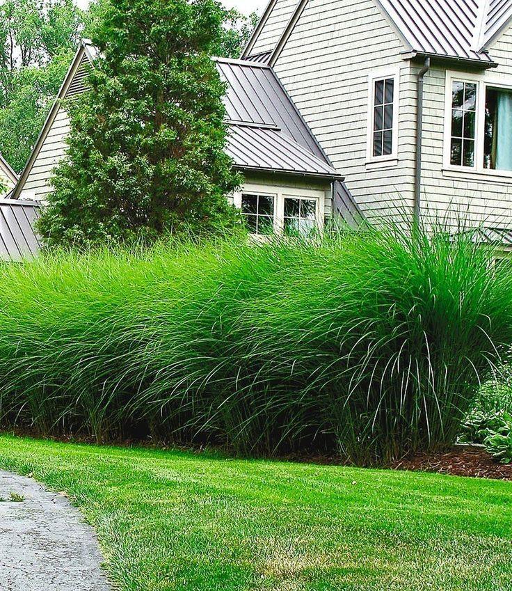 Superb Winterhartes Pampasgras ideal geeignet f r den K bel Bunte Farbenpracht die jedes Jahr neu austreibt Hingucker in Ihrem Garten zum g nstigen Preis