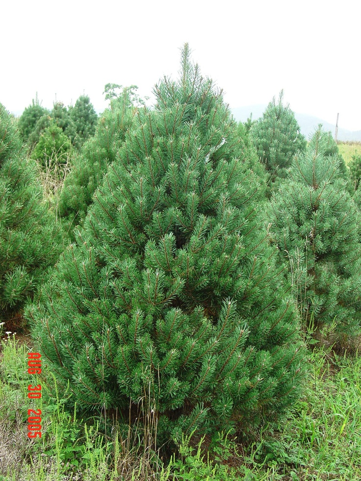 Most Fragrant Christmas Tree