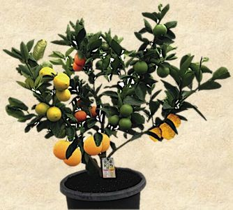 What is a Fruit Salad Tree?  A Fruit Salad Tree, developed in 1990 by the West Family in northern New England, New South Wales, Australia, bears up to six different fruits of the same family ALL growing on the one tree. All fruits retain their own individuality, with staggered ripening times.