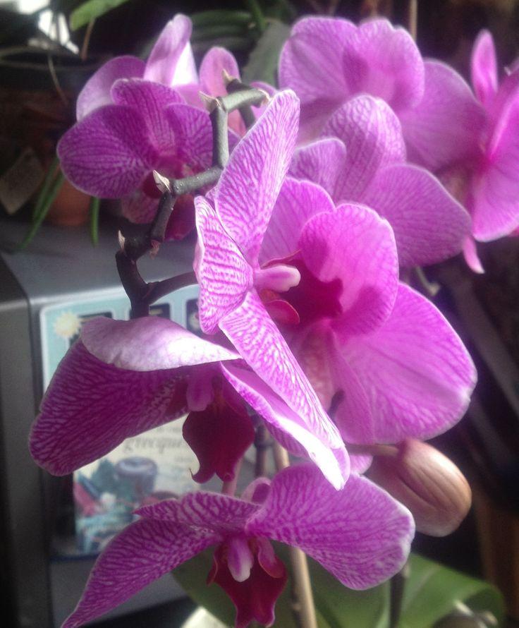 Orchid Phaleonopsis