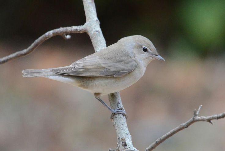 Garden Warbler (Sylvia borin) Migrant on a branch.