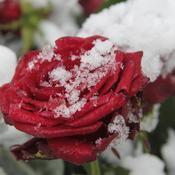 Protéger les rosiers en hiver - Jardinage