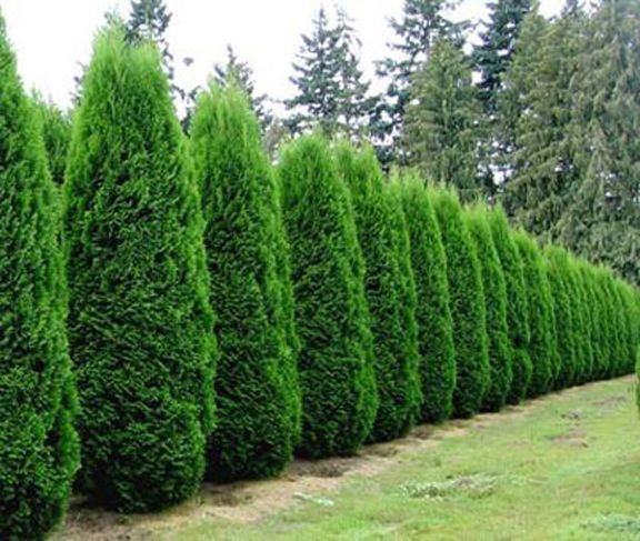 Emerald Green Arborvitae.  Love this line of green!