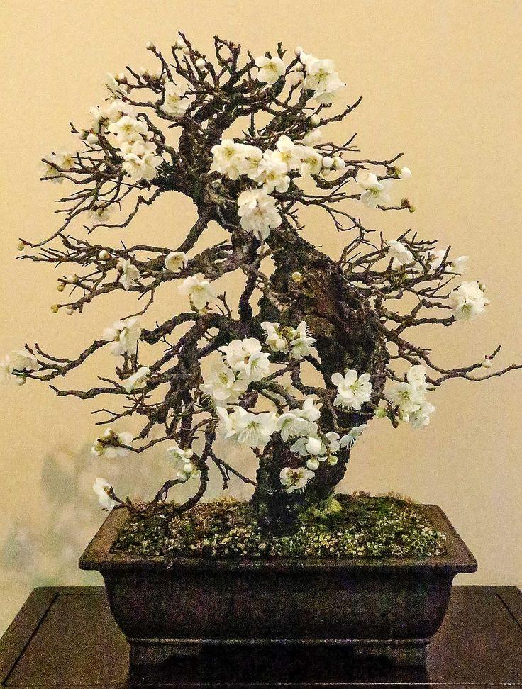 Prunus mume (Japanese Flowering Apricot)