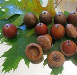 """Acorns - thought they taste bitter, you can remove the bitter taste by grinding the acorns after shelling them and then boiling the result. Strain through a t-shirt and eat the """"dough"""" or leave to dry in the sun and use for flour. #Survival"""