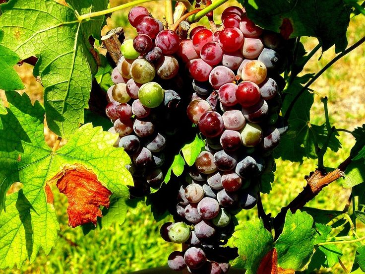 Grapes, vineyards in central Chile. Andes & wines day tour with Ecochile travel