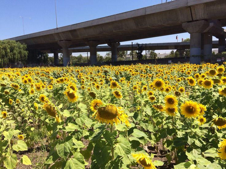 Inner city North Melbourne sunflowers wow! 2014