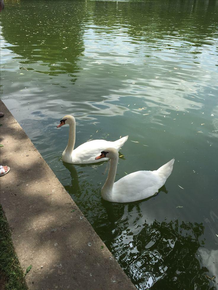 #nature #swan