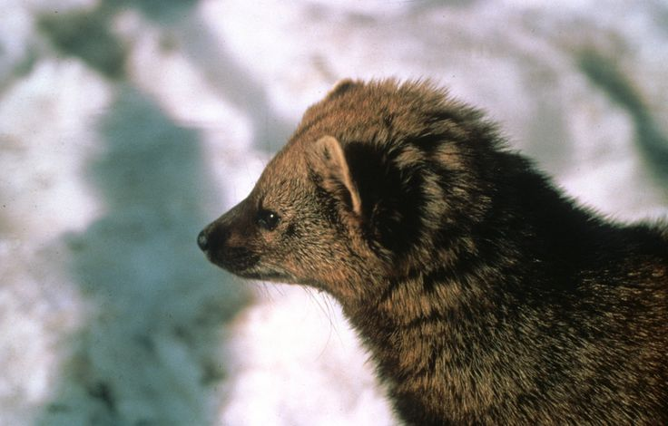 Fisher (Martes pennanti). Photo by Wisconsin Department of Natural Resources.