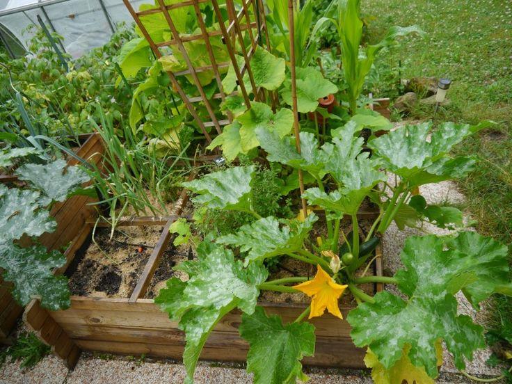 Les 643 meilleures images du tableau potager au jardin sur pinterest au jardin potager et - Comment planter les courgettes ...