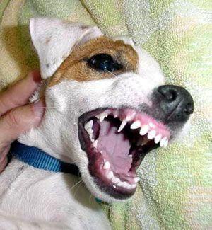 Nipping and Biting in Jack Russell Terriers