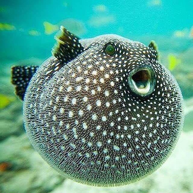 Amazing puffer fish