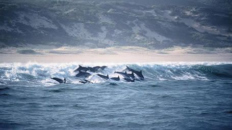 Watch the Dolphins Play - Plettenberg Bay