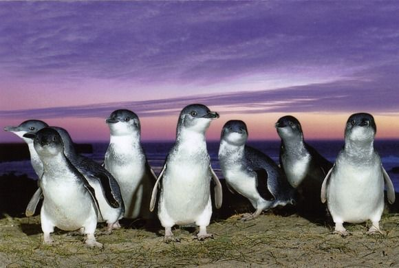 Visiting Tiny Penguins in Tasmania, Australia