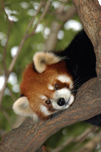 red panda! My favorite zoo animal