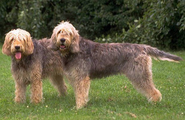 Otterhounds are large, rough-coated dogs with great strength, dignity, and a wonderful musical voice that can be heard from a great distance. A packhound, it was originally bred to hunt its quarry on land or water, but will fit in as a family companion.