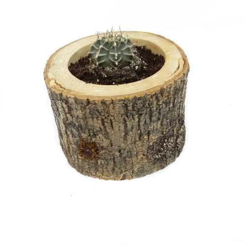 Echino Succulent-Sukulent - EV, BAHÇE, OFİS - Durbuldum.com - özel tasarım succulent
