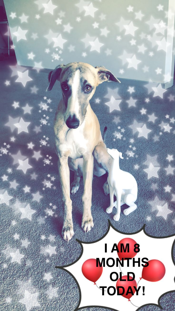 8 months old. #whippet #puppy #asterix #dog