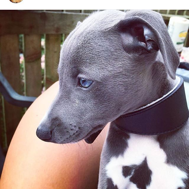 Purdy ... Our new blue whippet pup 8 weeks old xxx