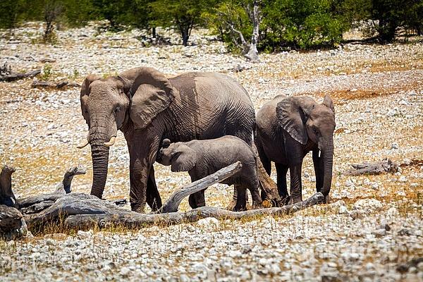 Wild elephant family with baby elephant in Namibia, Africa. Taken in Etosha National park.