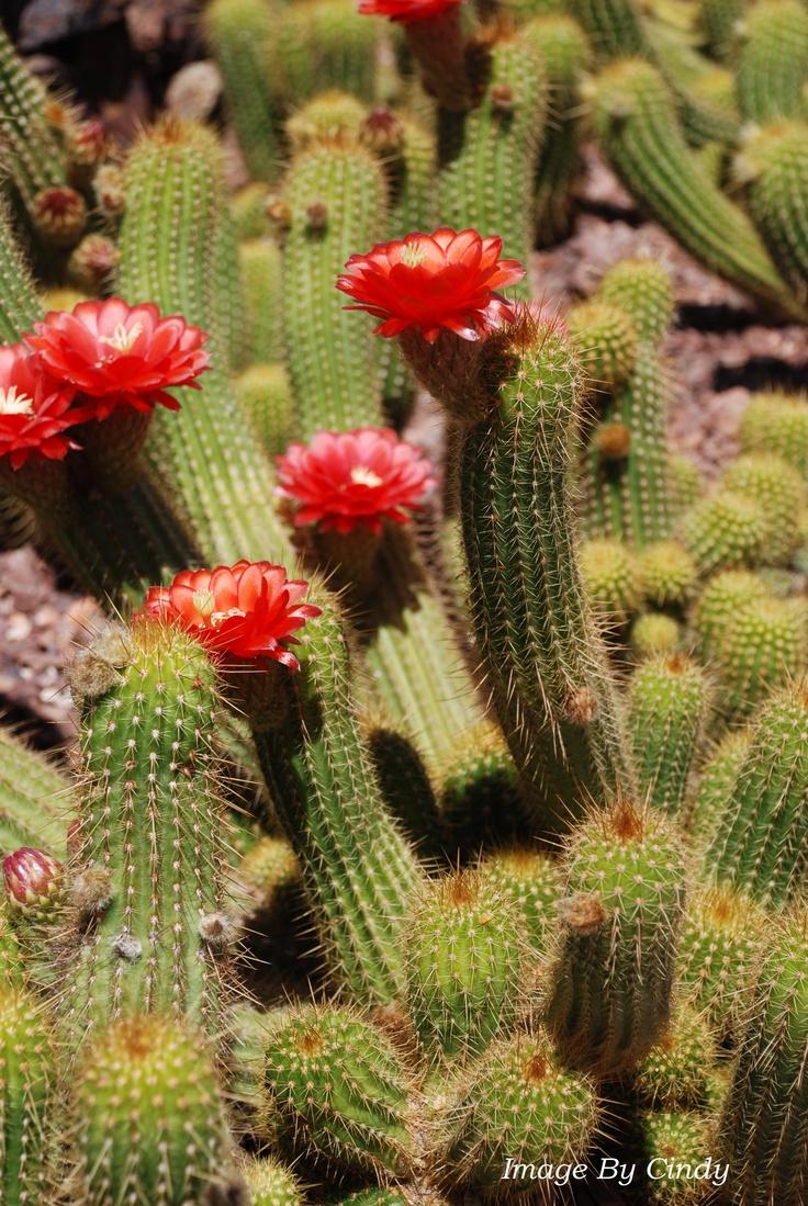 die besten 25 arizona cactus ideen auf pinterest w stenblumen kaktus blume und kakteen garten. Black Bedroom Furniture Sets. Home Design Ideas