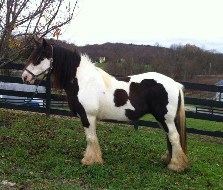 786 Best Gypsy Vanner Horses Images On Pinterest
