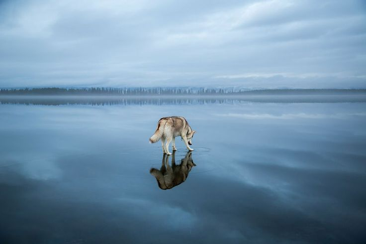 Magical Photos Of Siberian Huskies Playing On A Mirror-Like Frozen Lake In Russia's Arctic Region.