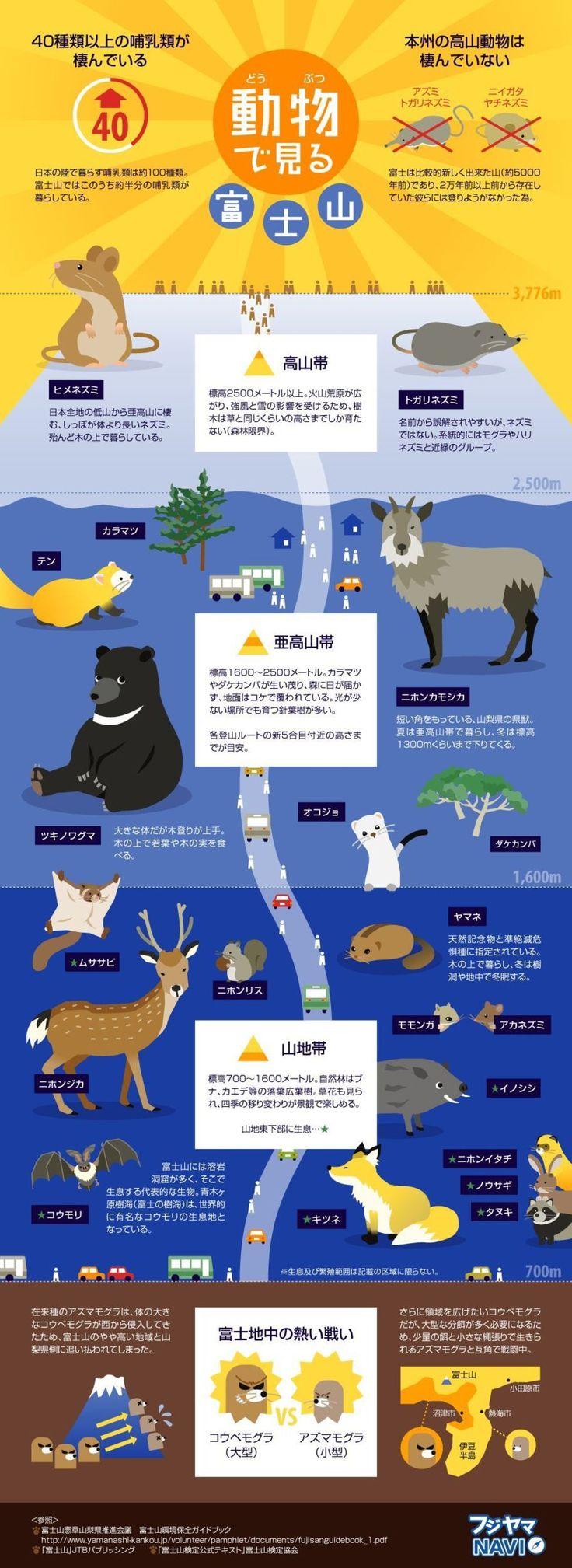 雄大な自然が手つかずの状態で残る富士山には、日本の陸で暮らす哺乳類100種類のうち約半分の40種類が棲んでいます。樹海が広がる標高700~1,600mの山地帯には溶岩洞窟が多く存在し、世界的に有名なコウモリの生息地となっていることや、地中におけるコウベモグラとアズマモグラの戦いなど、人間だけではなく、動物にとってもかけがえないのない存在の富士山。ここでは、そんな動物たちの一部をご紹介します。
