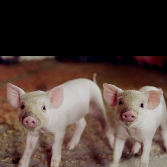 Baby pigs-my brother had 2-I named Emily & Albert. I used ...