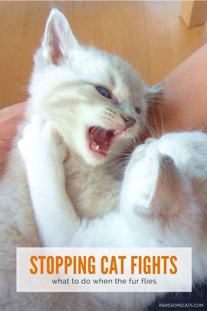 We talk about what causes cat fights and how to help your cats live in harmony | How to Stop Cat Fights in Your Home