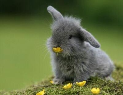 I think this cute guy is a Russian Lop-eared rabbit. I would love a little guy like this!