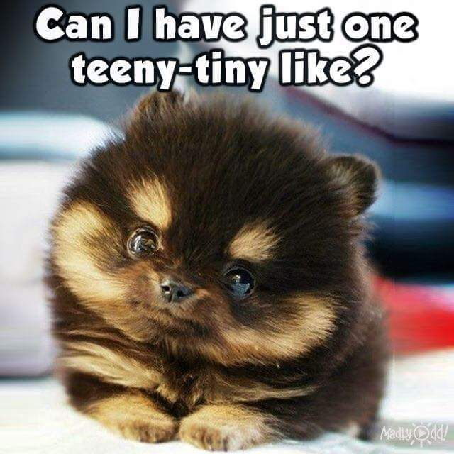teacup pomeranian life expectancy who could not puppies ruff ruff pinterest dr who 3068