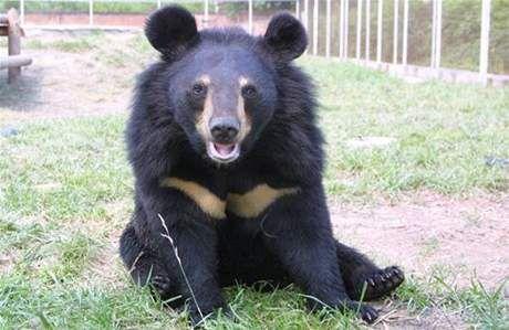 Medvěd ušatý (Ursus thibetanus) -  Samec váží 110 – 150 kg, samice 65 – 90 kg. je téměř úplný vegetarián,někdy se v jeho jídelníčku vyskytuje také med a hmyz, např. mravenci, a také si občas chodí přilepšit na lidské pole. Simona Holá.