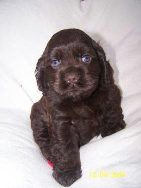 chocolate cocker spaniel puppy <3