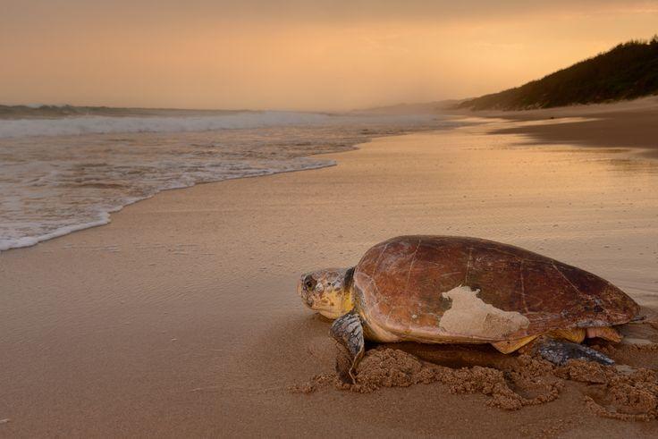 Logerhead Turtle on Beach - Loggerhead Turtle returning to the sea after…