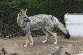 Liška šedá