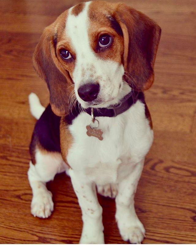 Marco The Blue Tick Beagle 2017 Beagle Dog Cute Beagles Beagle
