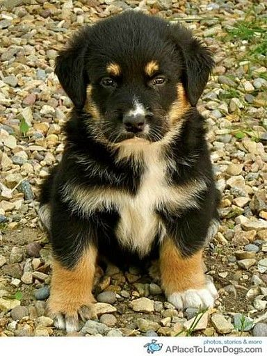 German Shepherd and St. Bernard Mix.  I wonder if this is what our dog, Indi, looked like as a puppy.  He now weights 105 lbs, and is what is called a St. German.  cute!