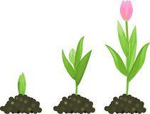 Étape de croissance de tulipe Photos libres de droits
