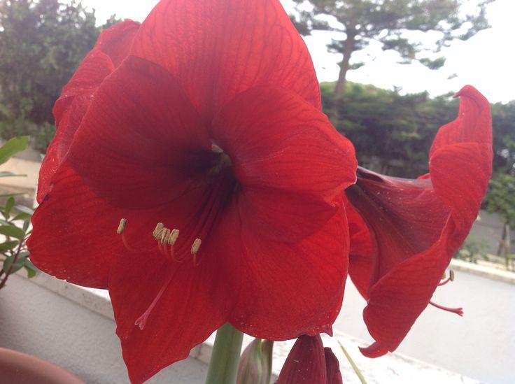 Amarilis rojo